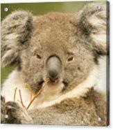 Koala Snack Acrylic Print by Mike  Dawson