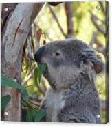 Koala Time Acrylic Print