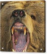 Kodiak Bear Ursus Arctos Middendorffi Acrylic Print