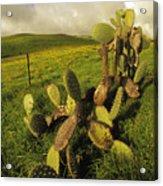 Kohala Cactus Acrylic Print