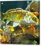 Koi 6/7/14 Kathy 1 Acrylic Print