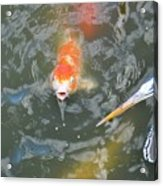 Koi And Great Blue Heron Acrylic Print