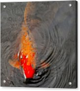 Koi  At Byodo Temple Acrylic Print