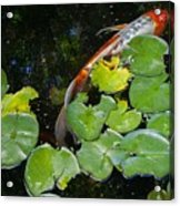 Koi With Lily Pads A Acrylic Print