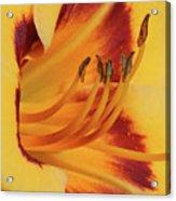 Kokomo Sunset 05 - Daylily Acrylic Print