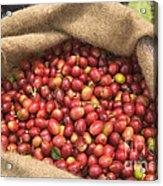 Kona Coffee Bean Harvest Acrylic Print