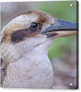 Kookaburra 12 Acrylic Print