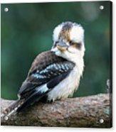 Kookaburra Australian Bird Acrylic Print