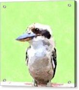 Kookaburra Acrylic Print by Chris Butler