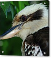 Kookaburra Portrait By Kaye Menner Acrylic Print