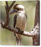 Kookaburra Sits In The Ol Gum Tree Acrylic Print