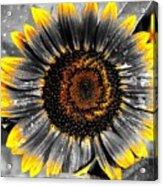 Krypton's Sun Flower Bwy Acrylic Print