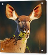 Kudu Portrait Eating Green Leaves Acrylic Print
