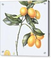 Kumquat Acrylic Print by Margaret Ann Eden