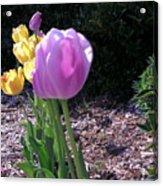 Kv Tulips Acrylic Print