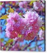 Kwanzan Cherry Blossoms Acrylic Print