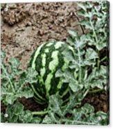 Ky Watermelon Acrylic Print