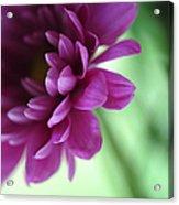 La Fleur De L' Amour Acrylic Print