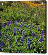 La Jolla Canyon Lupines Acrylic Print