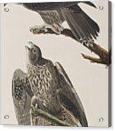 Labrador Falcon Acrylic Print