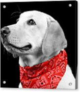 Labrador In Black And White  Acrylic Print
