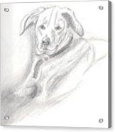 Labrador Retreiver Acrylic Print