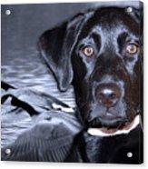 Labrador Retriever Thoughts  Acrylic Print