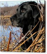 Labrador Retriever Waiting In Blind Acrylic Print