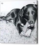 Labrador Samy Acrylic Print