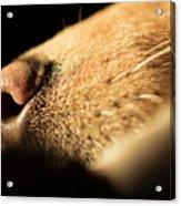 Labrador Scent Acrylic Print