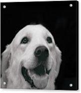 Labrador Smiling B W Acrylic Print