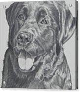 Labrador Acrylic Print