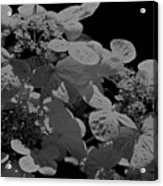 Lace Cap Hydrangea In Black And White Acrylic Print