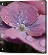 Lace Cap Hydrangea  Acrylic Print