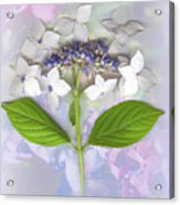 Lacecap Hydrangea Acrylic Print