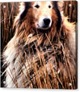 Laddie In Charge Acrylic Print