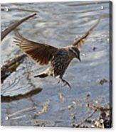 Lady Blackbird Acrylic Print