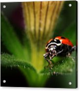 Lady Bug 1 Acrylic Print