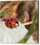 Lady Bug Acrylic Print