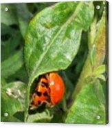 Lady Bugs Acrylic Print