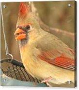 Lady Cardinal  Acrylic Print