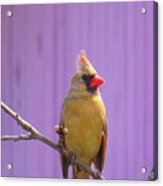 Rare Yellow Cardinal On A Cherry Branch Acrylic Print
