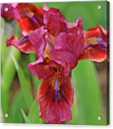 Lady In Red Iris Acrylic Print