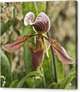 Lady Slipper 2 Acrylic Print