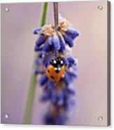 Ladybird On Norfolk Lavender  #norfolk Acrylic Print