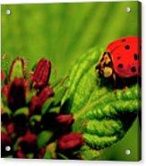 Ladybug Atop A Leaf Acrylic Print
