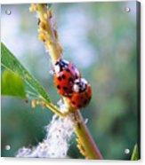 Ladybug Beetles Mating Near Aphids    Spring    Indiana Acrylic Print