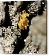 Ladybug Eggs Acrylic Print