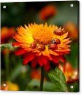Ladybug Gathering Acrylic Print
