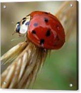 Ladybug I Acrylic Print